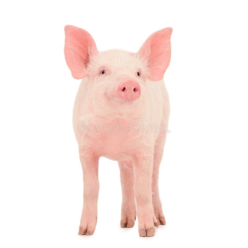 Download Porco no branco foto de stock. Imagem de porco, branco - 26508252