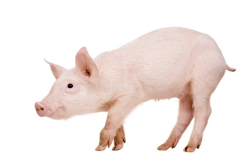 Porco novo (+-1 mês) fotografia de stock royalty free