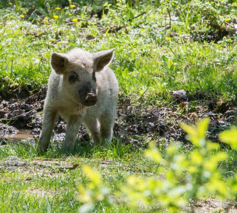 Porco peludo branco novo que olha a câmera Produza o hungarian fotos de stock royalty free