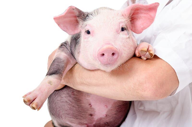Porco pequeno bonito nas mãos no veterinário imagens de stock royalty free