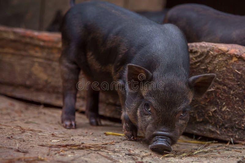 Porco pequeno do preto do bebê no chiqueiro na exploração agrícola fotografia de stock