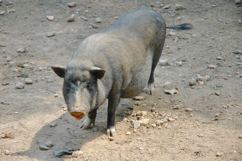 Porco Preto Vietnamiano Foto de Stock Royalty Free
