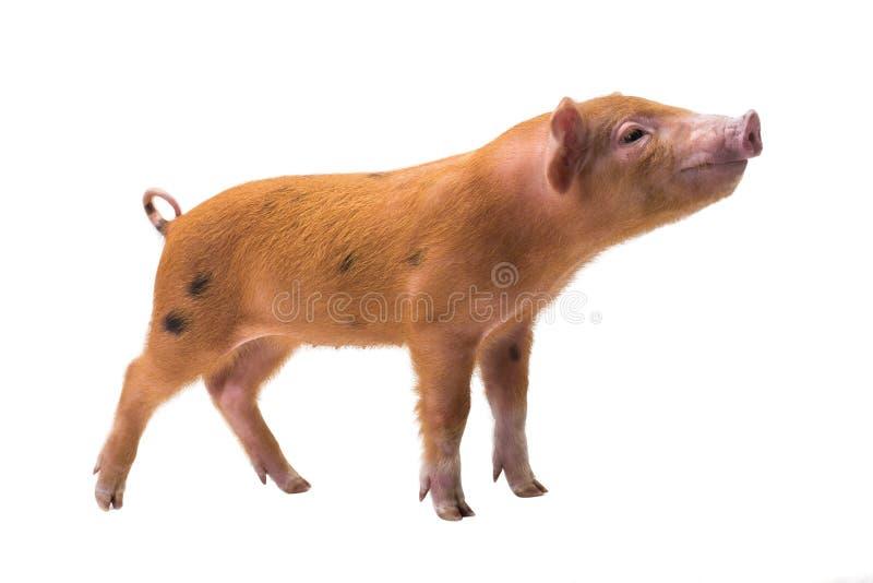 Porco vermelho imagens de stock royalty free