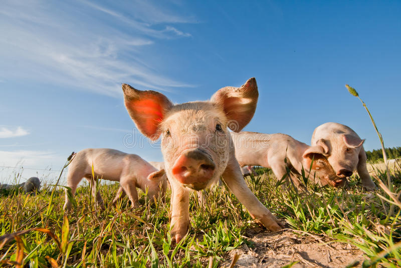 Porcos bonitos fotos de stock royalty free
