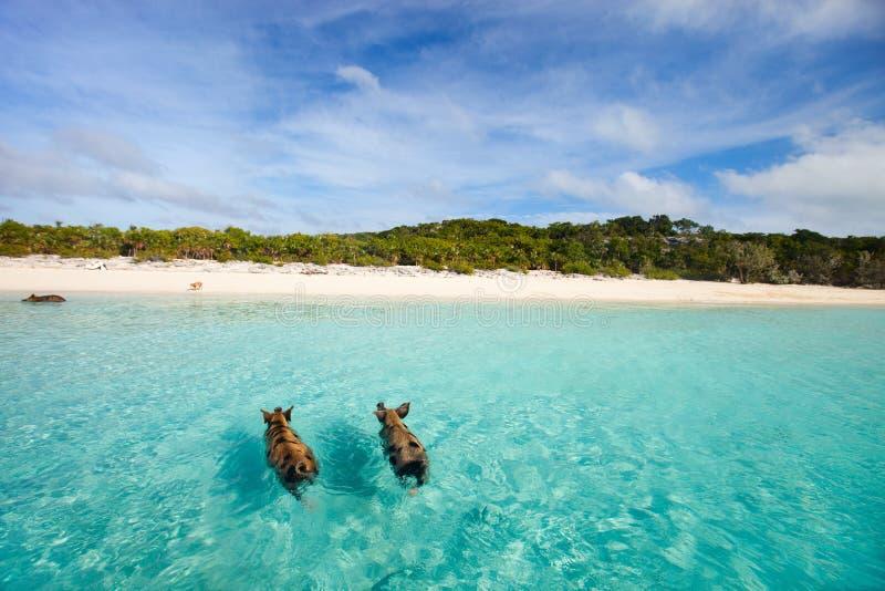 Porcos da natação de Exuma foto de stock