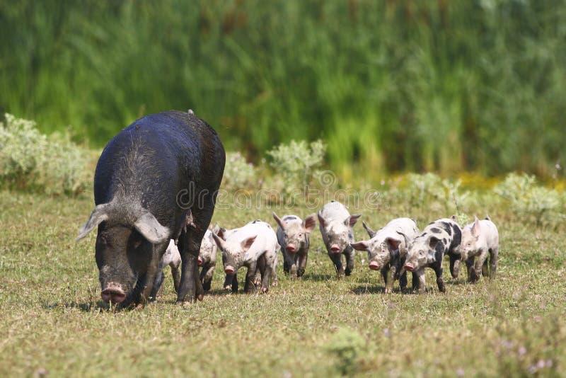 Porcos da porca e do bebê foto de stock