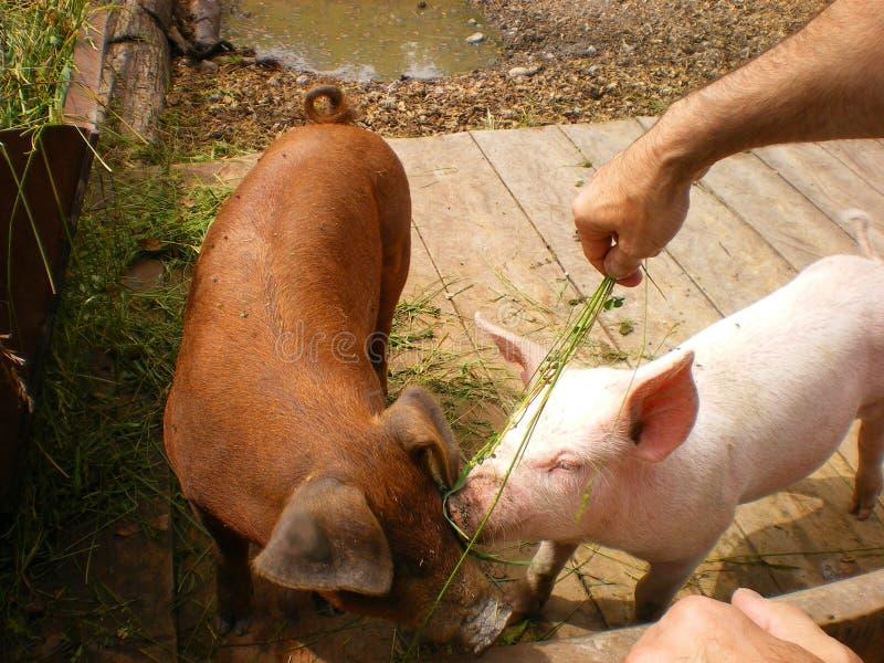 Porcos de alimentação na exploração agrícola orgânica fotografia de stock royalty free
