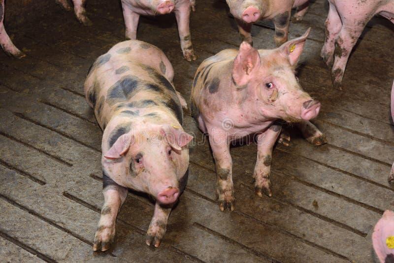 Porcos de engorda que aproximam dois meses velho foto de stock