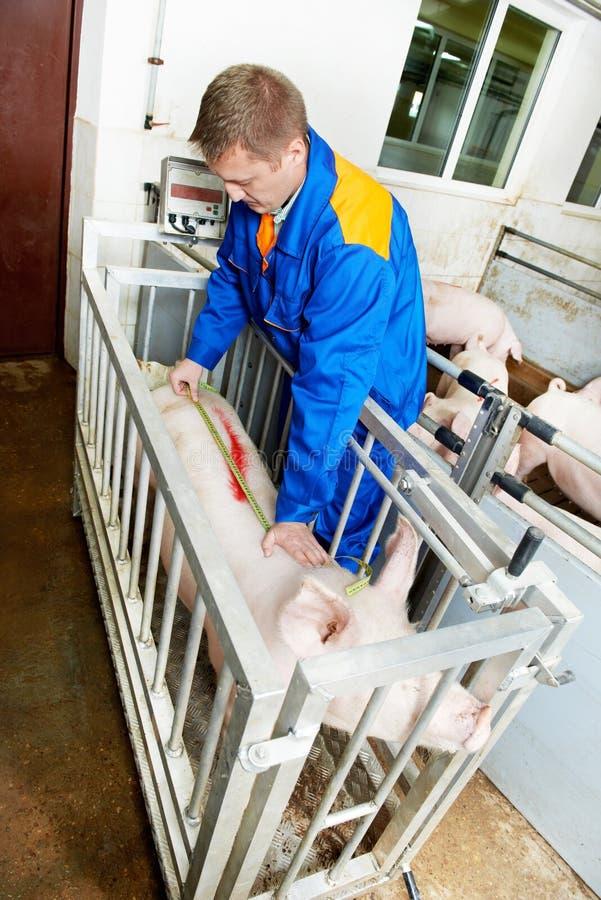 Porcos de exame do doutor veterinário em uma exploração agrícola de porco imagem de stock royalty free