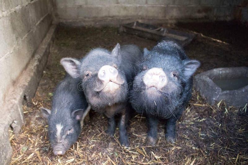 Porcos do anão de Smilling imagem de stock royalty free