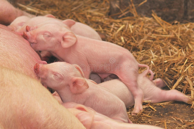 Porcos do bebê que alimentam com matriz foto de stock royalty free