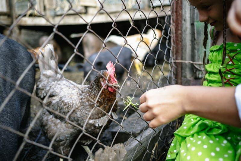Porcos e galinhas vietnamianos de alimentação na exploração agrícola imagens de stock royalty free