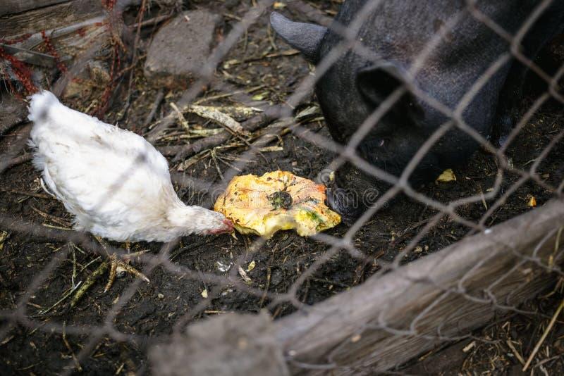Porcos e galinhas vietnamianos de alimentação na exploração agrícola imagem de stock royalty free