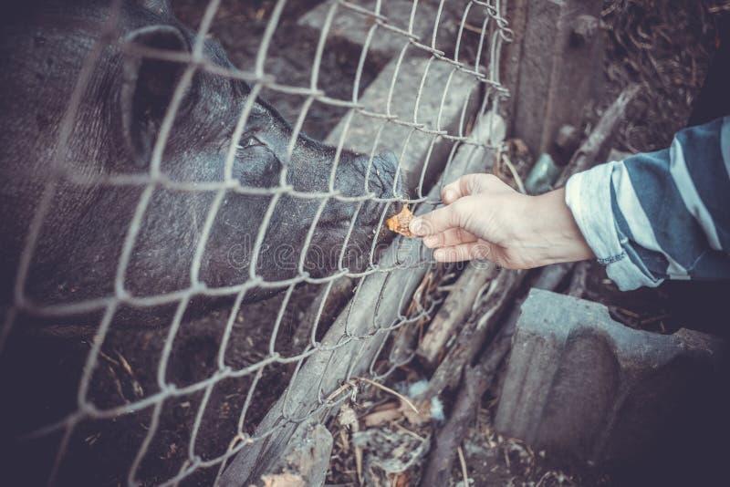 Porcos e galinhas vietnamianos de alimentação na exploração agrícola fotos de stock royalty free