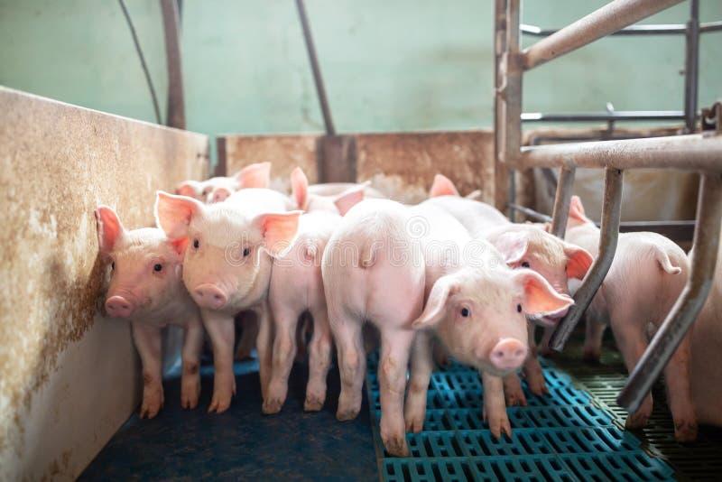 Porcos e leitão ecológicos na exploração agrícola doméstica fotos de stock royalty free
