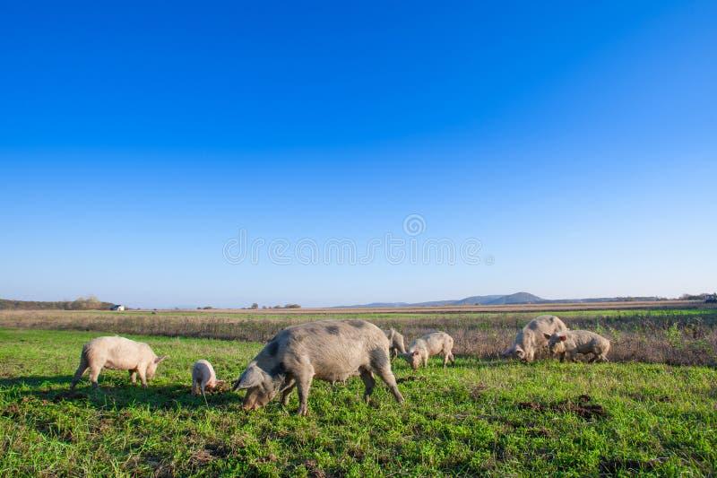 Porcos e leitão que pastam foto de stock