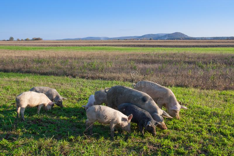 Porcos e leitão que pastam imagens de stock