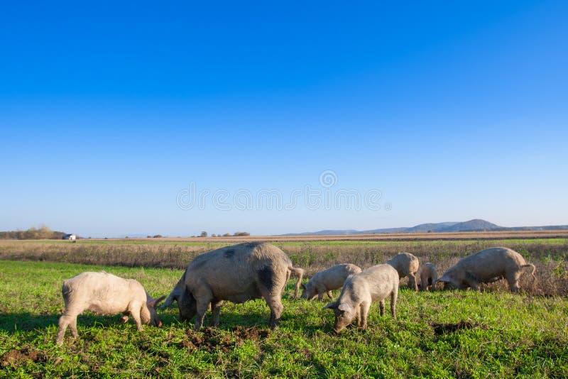 Porcos e leitão que pastam foto de stock royalty free