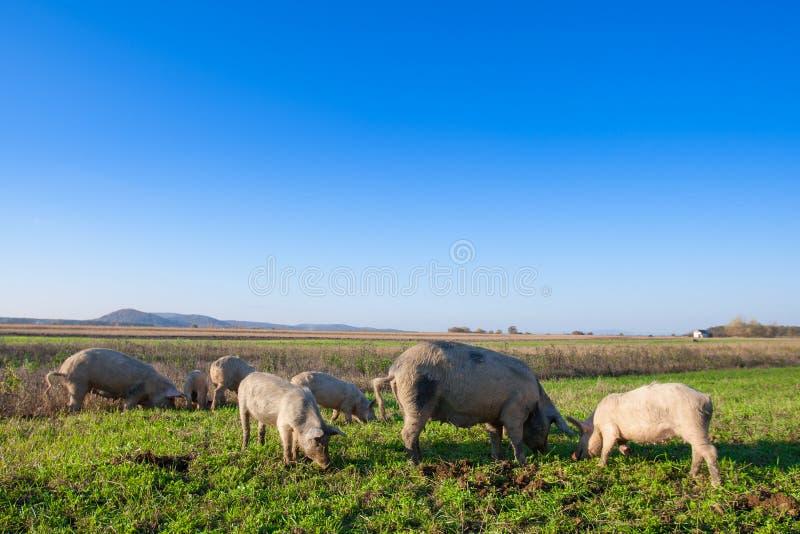 Porcos e leitão que pastam imagem de stock