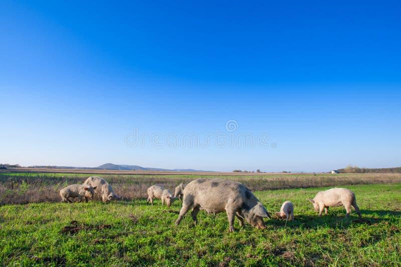 Porcos e leitão que pastam em um pasto do campo imagens de stock royalty free