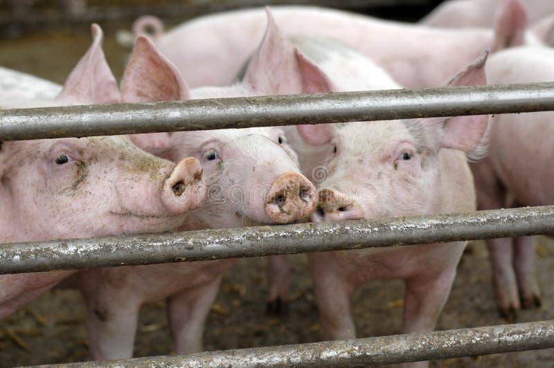 Porcos em uma exploração agrícola do eco imagem de stock