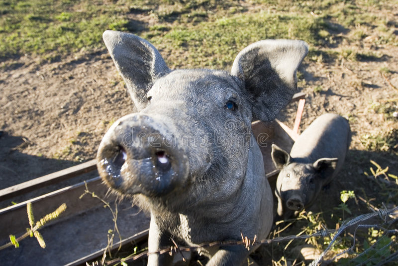 Porcos engraçados do reboque imagem de stock royalty free