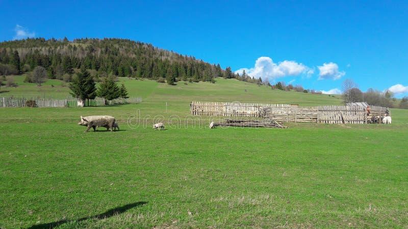 Porcos livres fotografia de stock