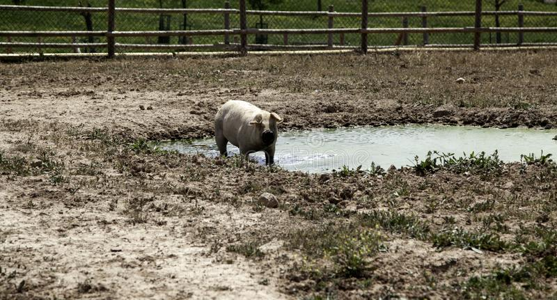 Porcos na explora??o agr?cola fotografia de stock