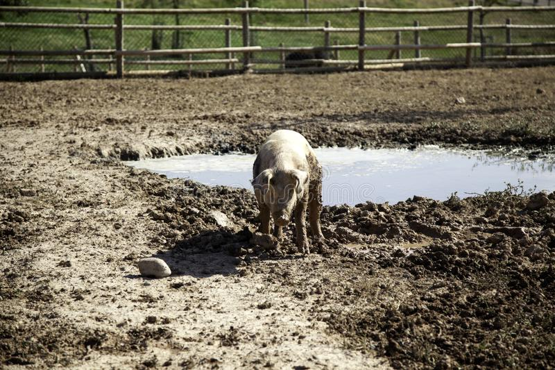 Porcos na explora??o agr?cola imagem de stock