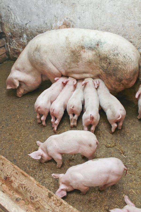 Porcos no celeiro imagens de stock royalty free
