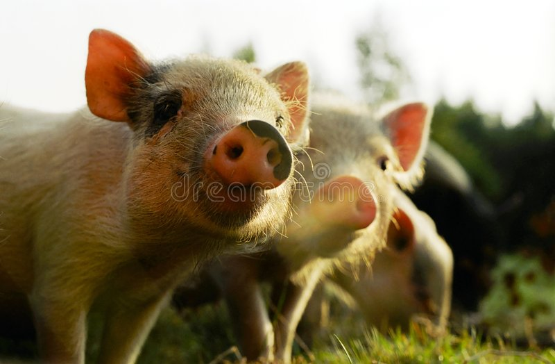 Porcos pequenos fotografia de stock royalty free