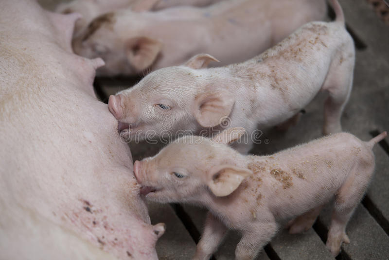 Porcos pequenos na exploração agrícola fotografia de stock royalty free