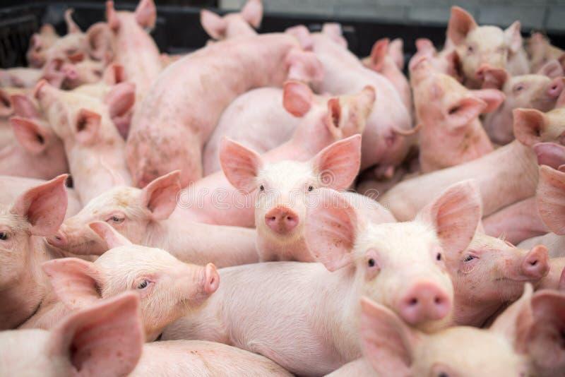 Porcos pequenos na exploração agrícola, suínos na tenda Indústria da carne fotos de stock