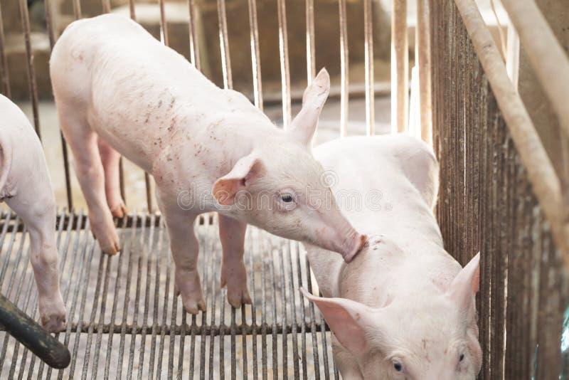 Porcos pequenos que jogam felizmente imagens de stock