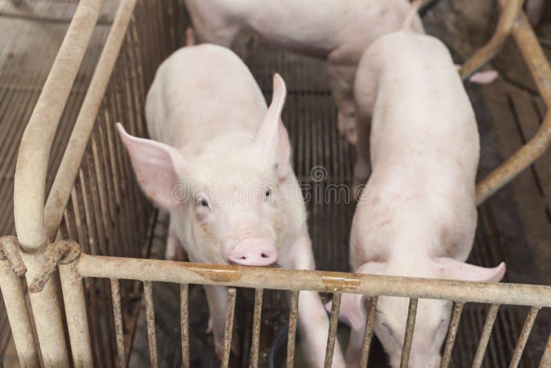 Porcos pequenos que jogam felizmente fotos de stock