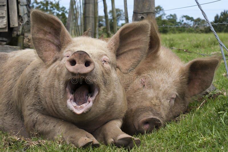Porcos preguiçosos imagem de stock