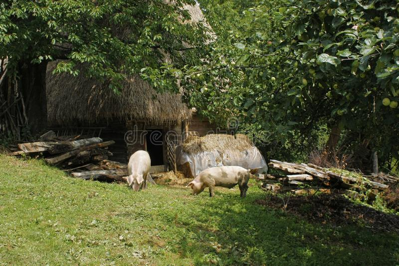 Porcos que pastam altamente nas montanhas fotos de stock royalty free