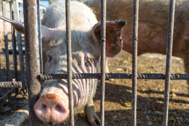 Porcos que são mantidos atrás de uma cerca do metal Fazenda de cria??o Ind?stria da carne Conceito dos direitos de animais fotos de stock