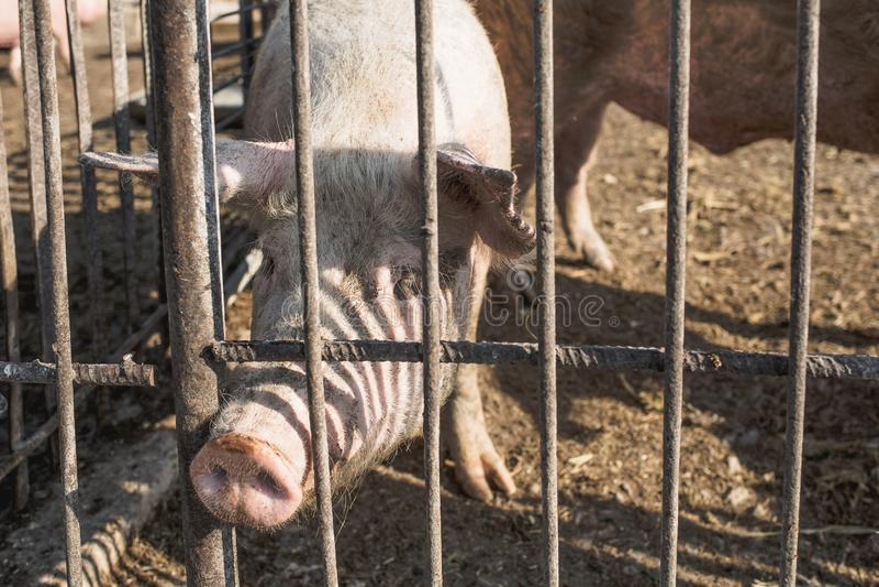Porcos que são mantidos atrás de uma cerca do metal Fazenda de cria??o Ind?stria da carne Conceito dos direitos de animais foto de stock royalty free