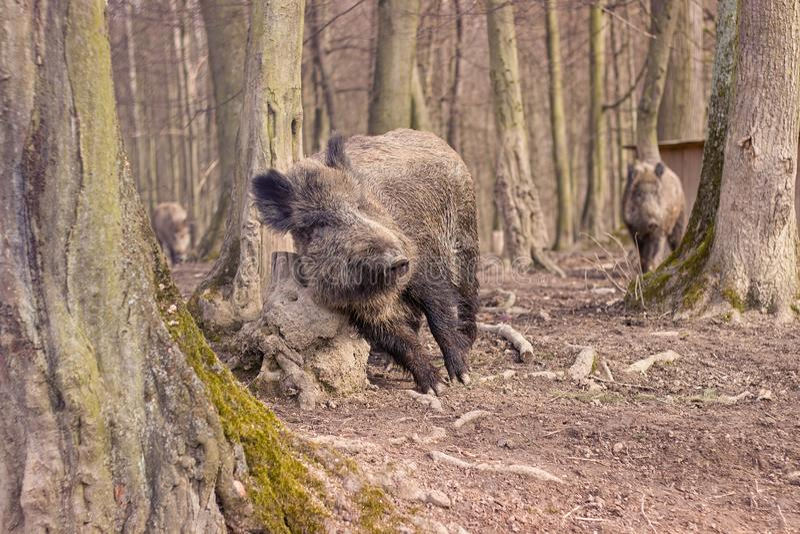 Porcos selvagens imagem de stock royalty free