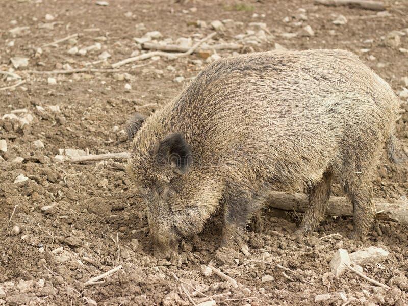 Porcos selvagens fotos de stock