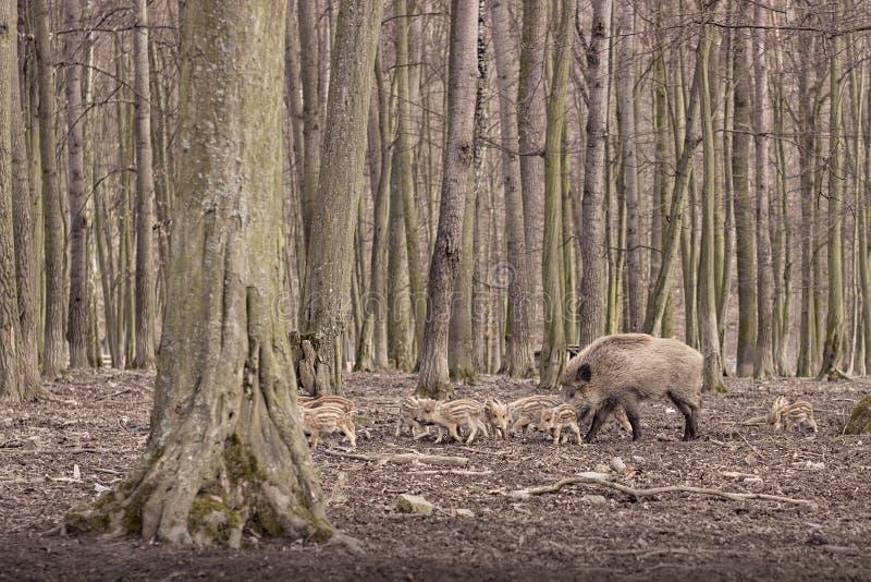 Porcos selvagens fotos de stock royalty free