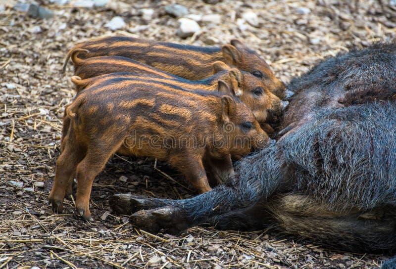 Porcos selvagens do bebê fotografia de stock