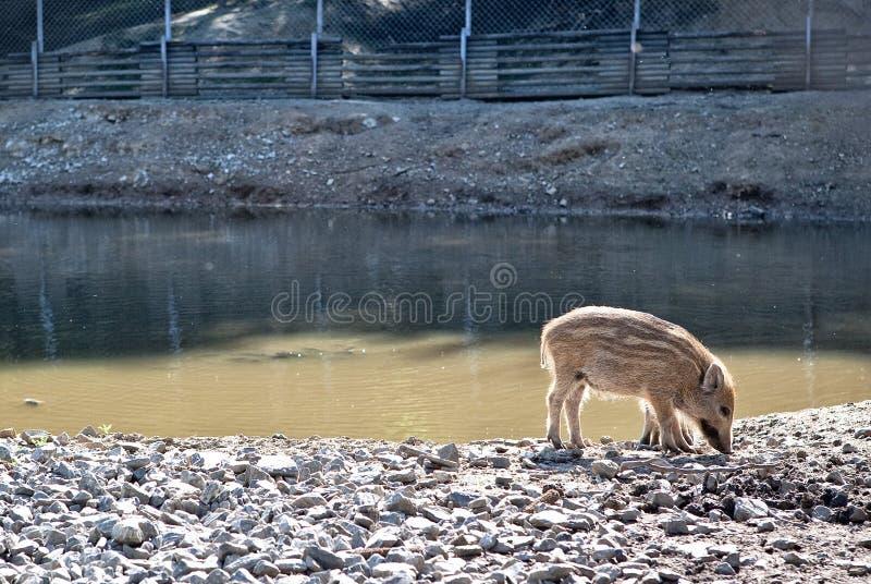 Porcos selvagens na reserva natural imagem de stock