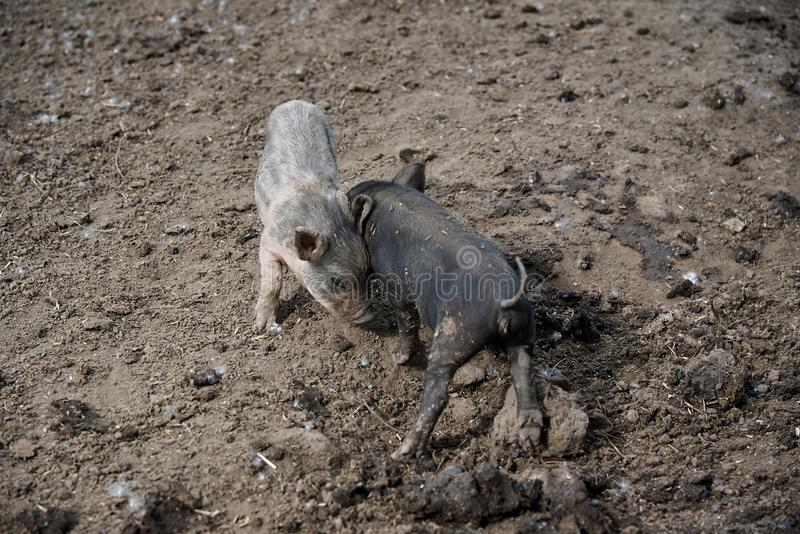 Porcos sujos pequenos foto de stock royalty free