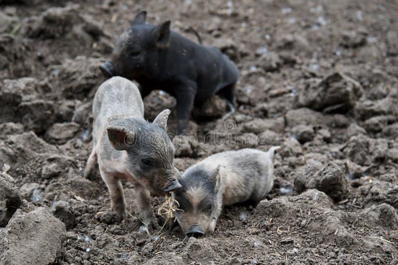 Porcos sujos pequenos imagens de stock
