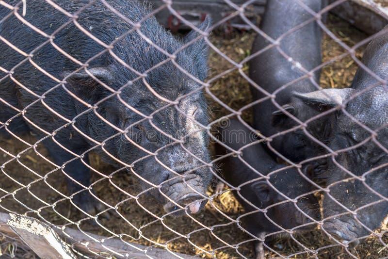 Porcos vietnamianos atrás de uma cerca da malha em uma exploração agrícola imagens de stock