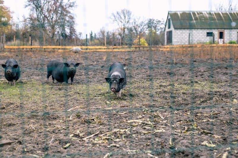 Porcos vietnamianos atrás de uma cerca da malha em uma exploração agrícola imagens de stock royalty free