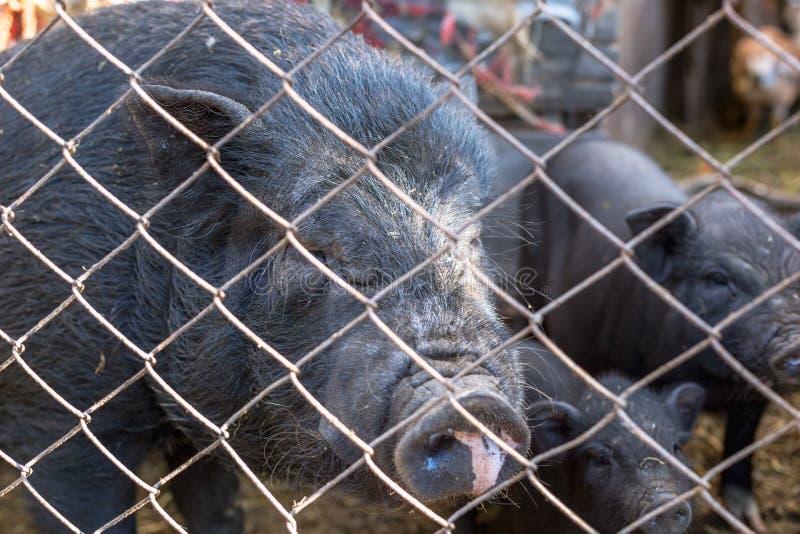 Porcos vietnamianos atrás de uma cerca da malha em uma exploração agrícola fotografia de stock royalty free