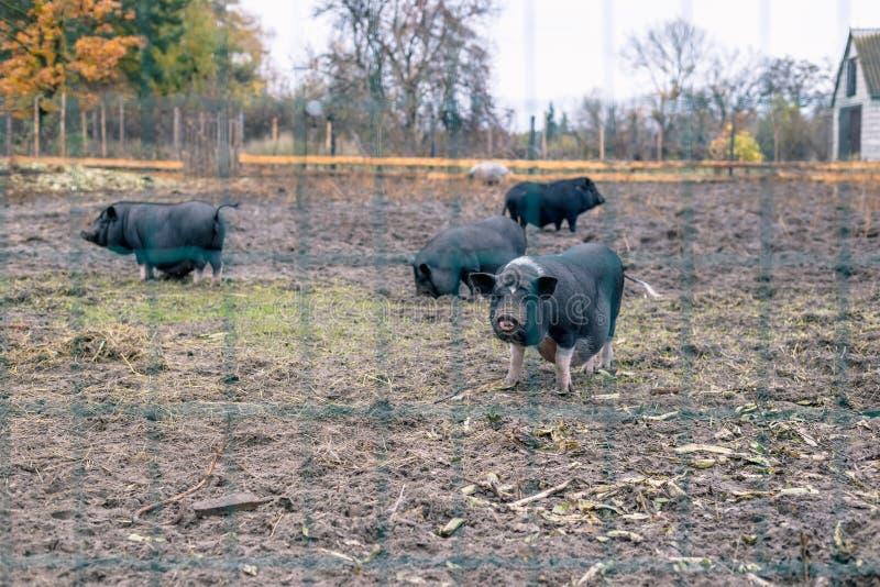 Porcos vietnamianos atrás de uma cerca da malha em uma exploração agrícola fotos de stock royalty free